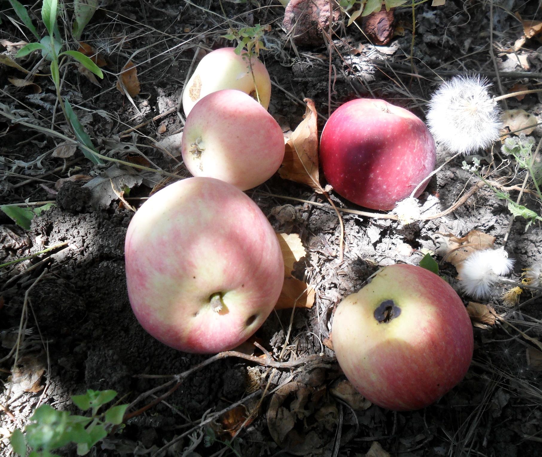 Яблоки, лето