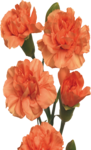 Orange Carnations.png