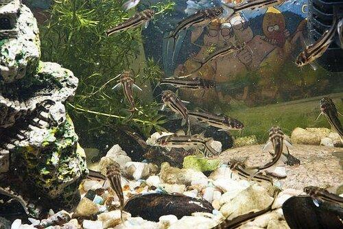 Амурский аквариум 0_f0c14_b9589212_L