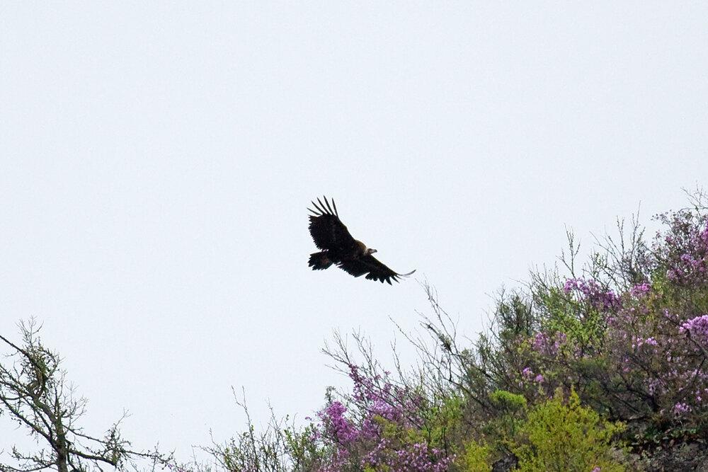 Чёрный гриф (Aegypius monachus)