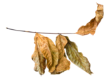 LottaDesigns_OldWorld_leaves_1.png