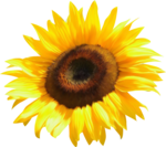 AD_Sunflower_summer_el (27).png