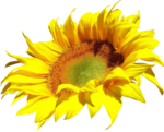 AD_Sunflower_summer_el (29).png