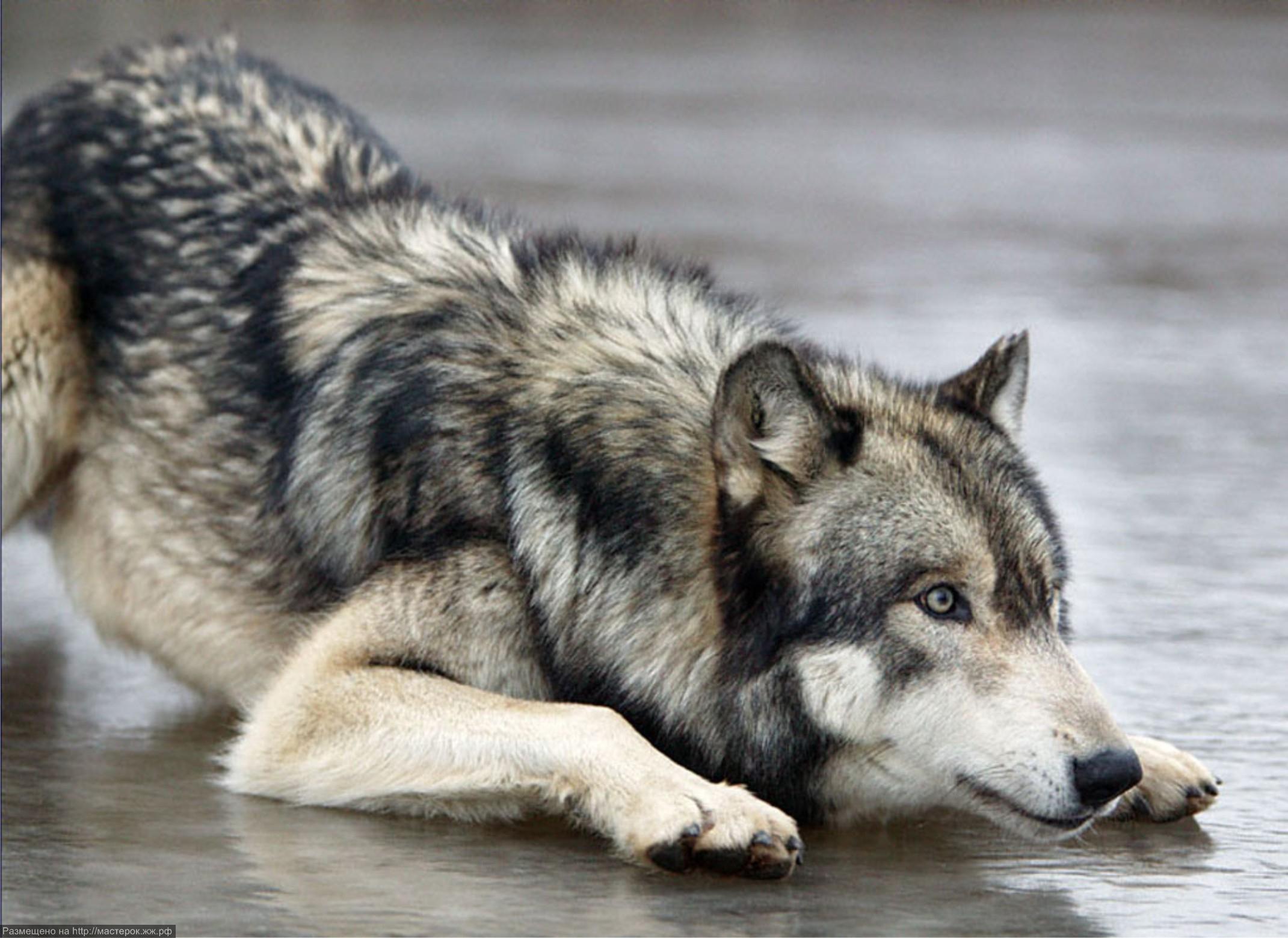 Волки (фотографии + рисованые). скачать бесплатно.