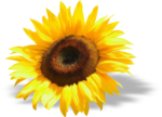 Sunflower_summer