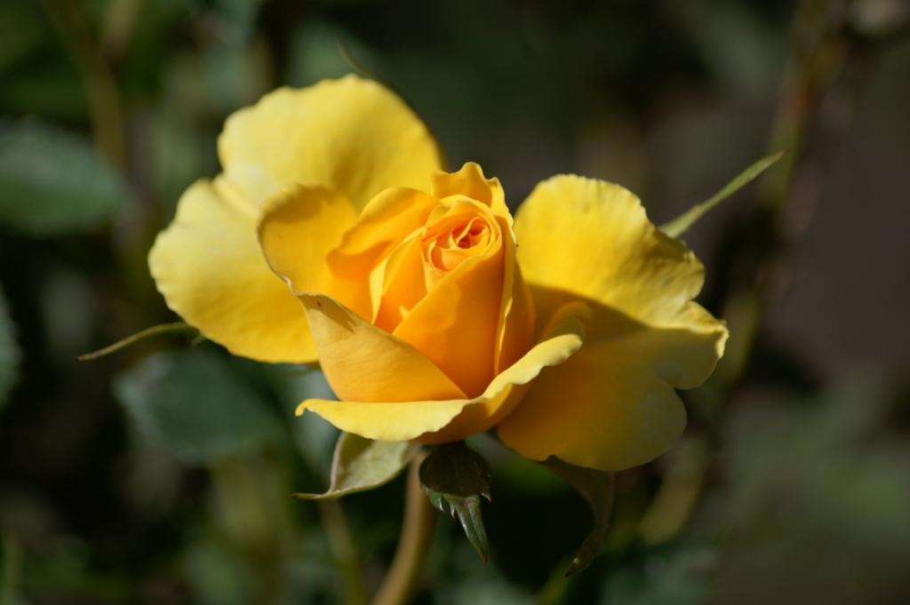 Розы. Обрезка кустов розы: общие правила