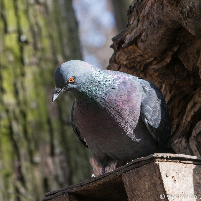 Царицынский голубь