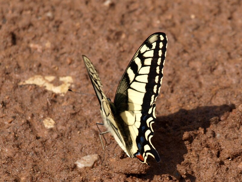 махаон Papilio machaon на песке