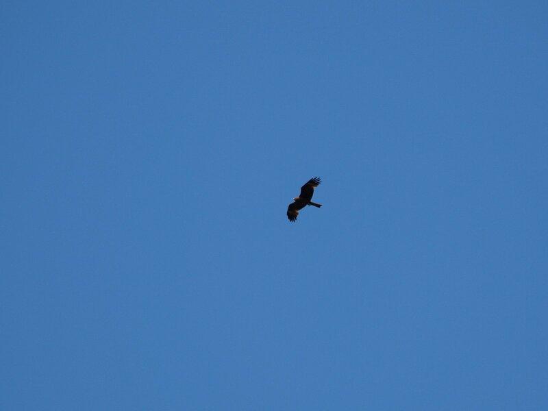 Силуэт черного коршуна (Milvus migrans) в небе над Моломой