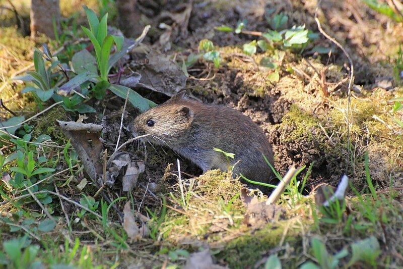 мышонок осторожно выглядывает из норки в земле - Рыжая (лесная) полёвка (лат. Myodes glareolus)