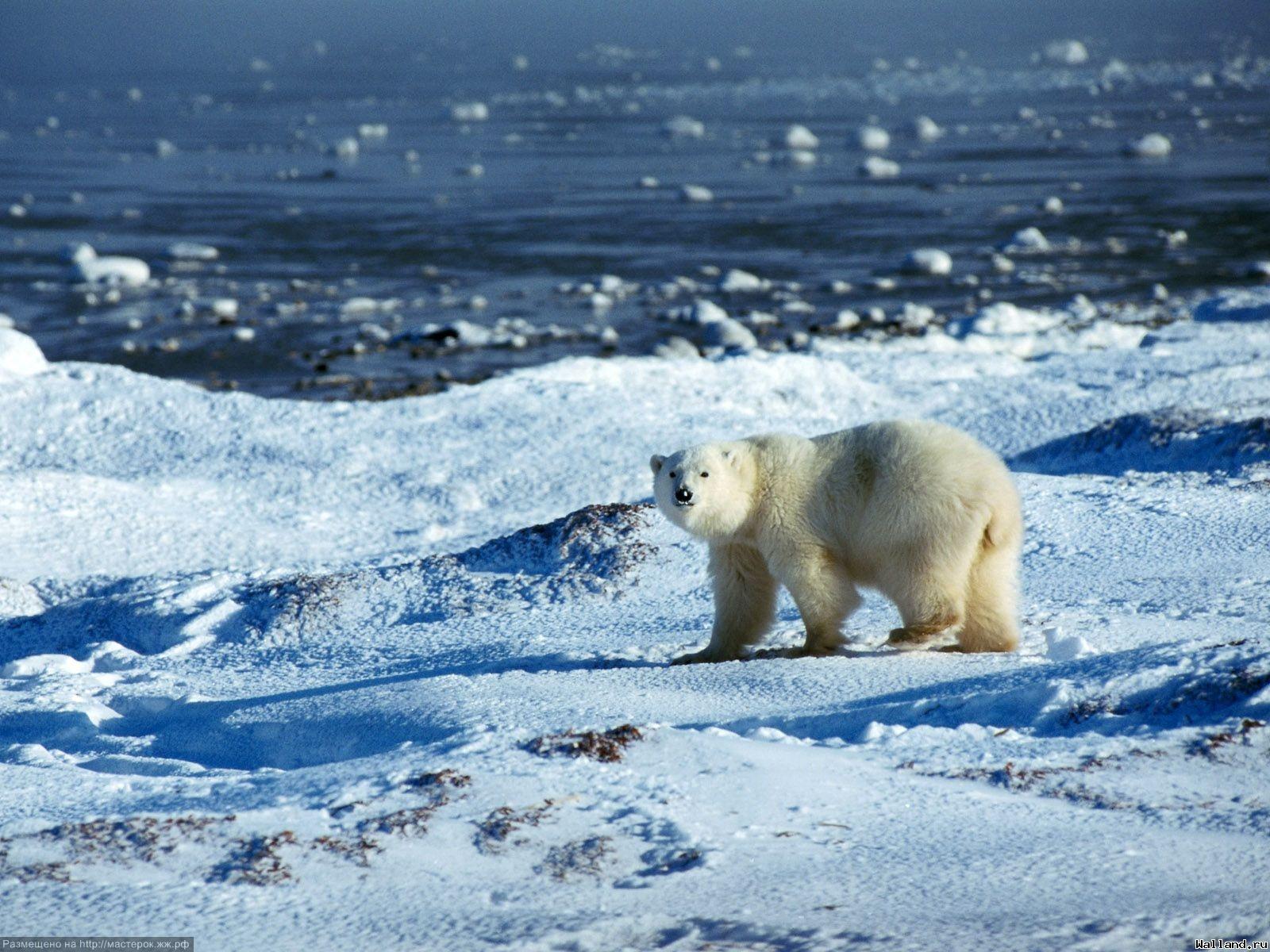 Биография белого медведя