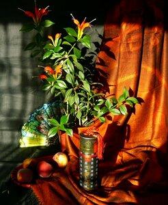 Aeschynanthus speciosus Hook