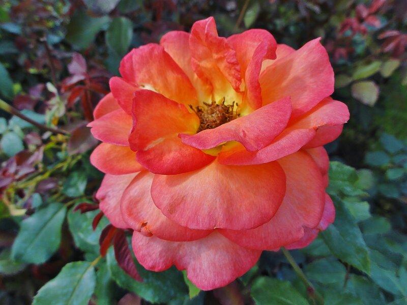 Нас розы нежный аромат манит в мечтательные дали..