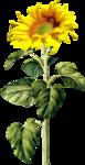 «AD_Sunflower_summer»  0_8c79c_6ffd3941_S