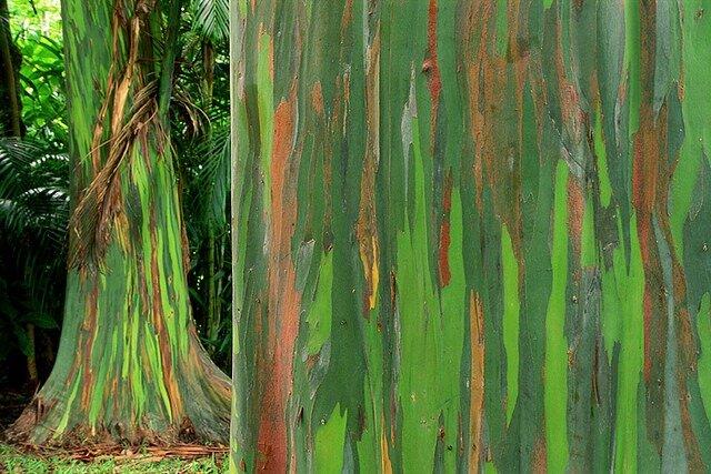 Eucalyptus deglupta - цветные деревья