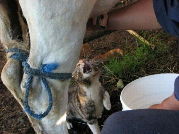 А в деревне котов так кормят