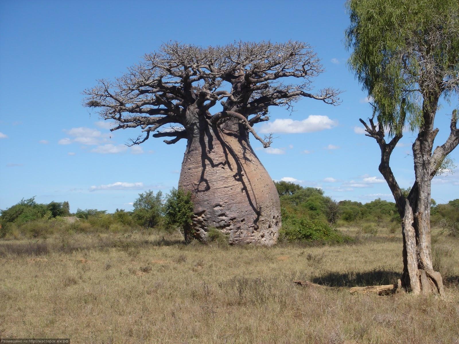 фото баобаба корни