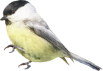 ial_as_sf_birdie2.png