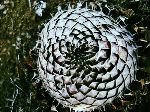 Забайкальский кактус