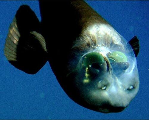 Рыба с прозрачной головой 0_722b0_37eff63c_L