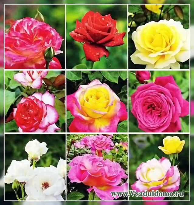 фото сортов чайно гибридиных роз