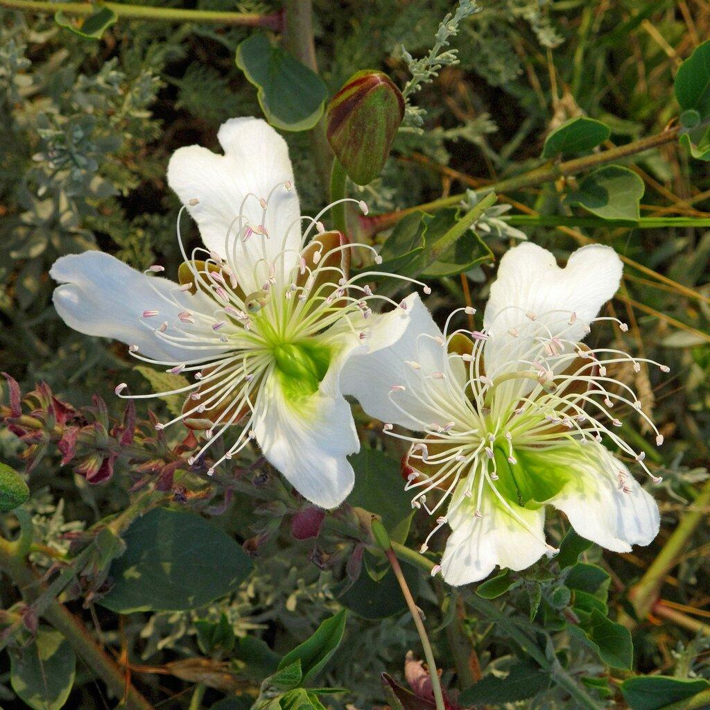 Изящные цветы каперсника