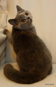 голубой черепаховый британская короткошерстная кошка