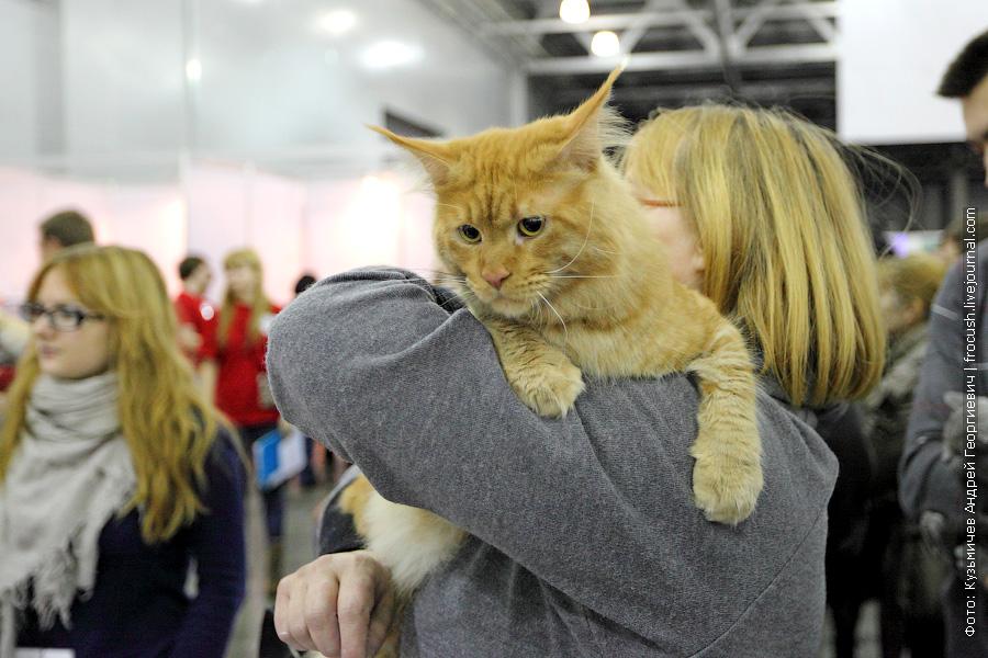 выставка кошек Мейн-кунчик