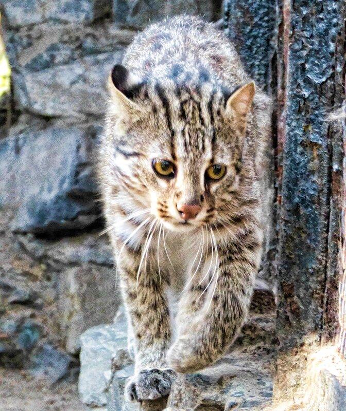 Новосибирский зоопарк фото усурийской кошки