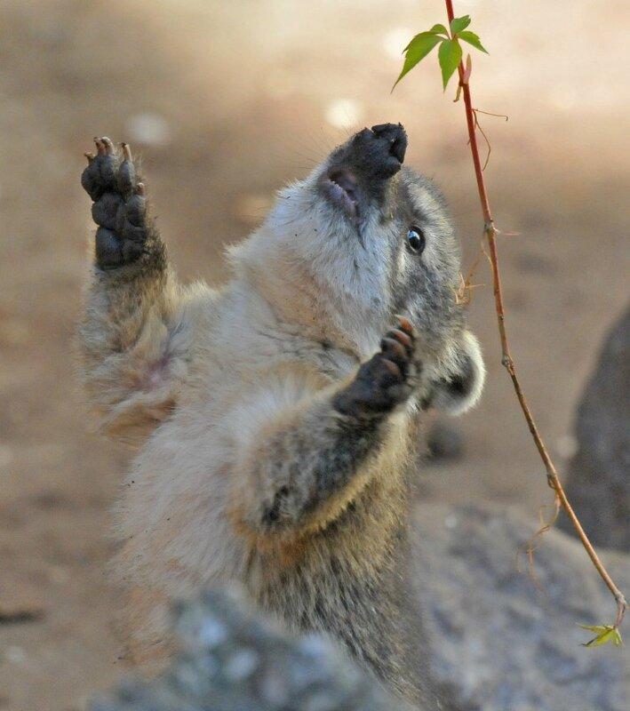 Милые детеныши коати (носухи) из парка дикой природы в Германии.