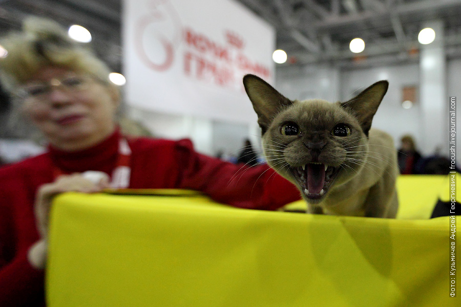 фотографии выставка кошек Бурма