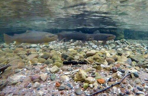 Камера наблюдения за рыбами. Речная форель.