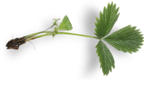 natali_strawberry_leaf2-sh.png