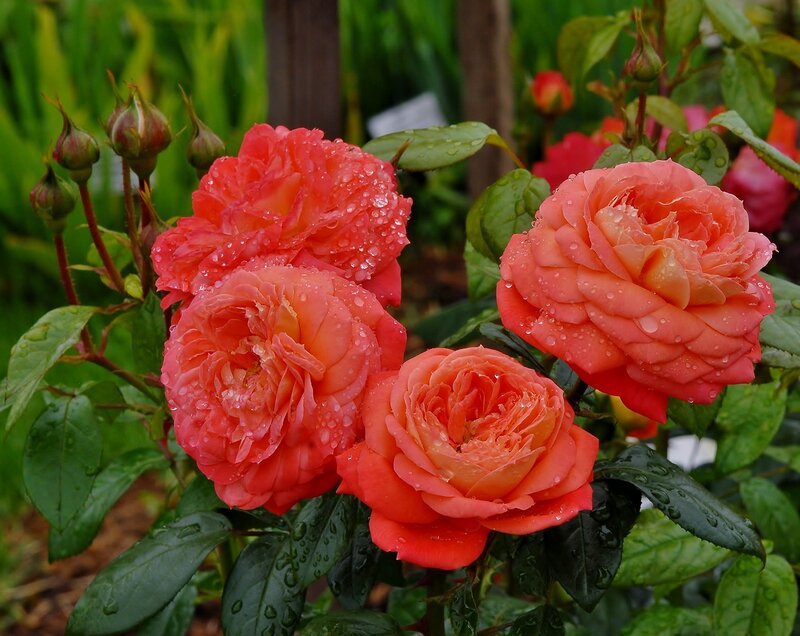Блистали розы в капельках дождя
