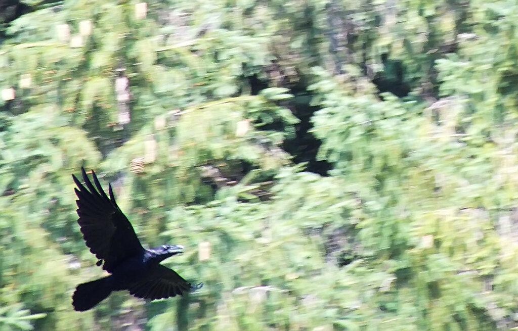 карпатский ворон