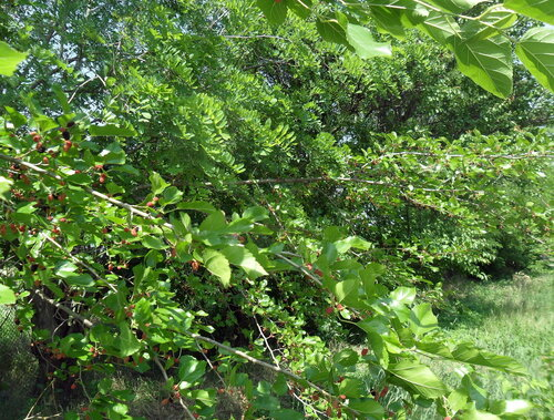Начало лета, у шелковицы, июнь 2012
