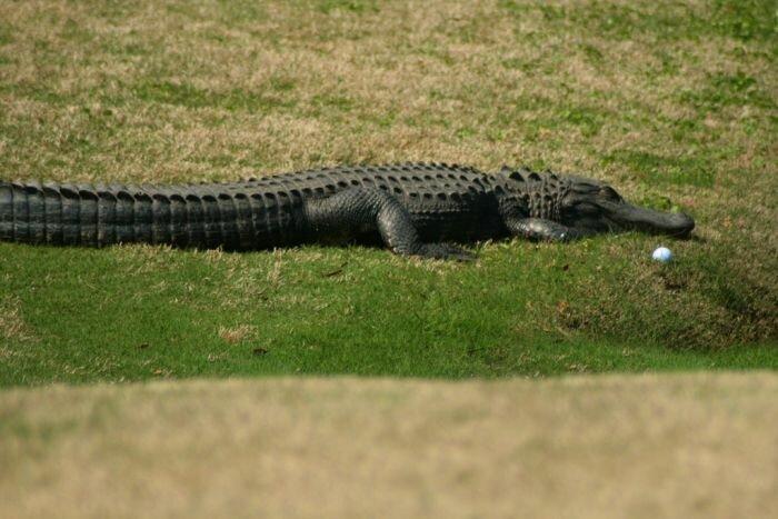 Гольф в Гавайях опасен (20 фото)