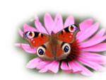 бабочка72107_wp_peacock_butterfly_1600x1200prevyu.png