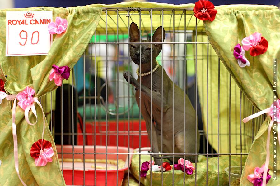 Донской сфинкс на выставке кошек