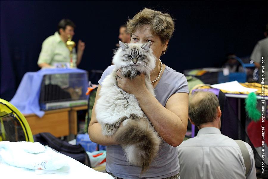 Сибирская кошка фотография
