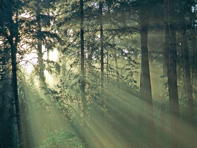 сосновый лес туман утро