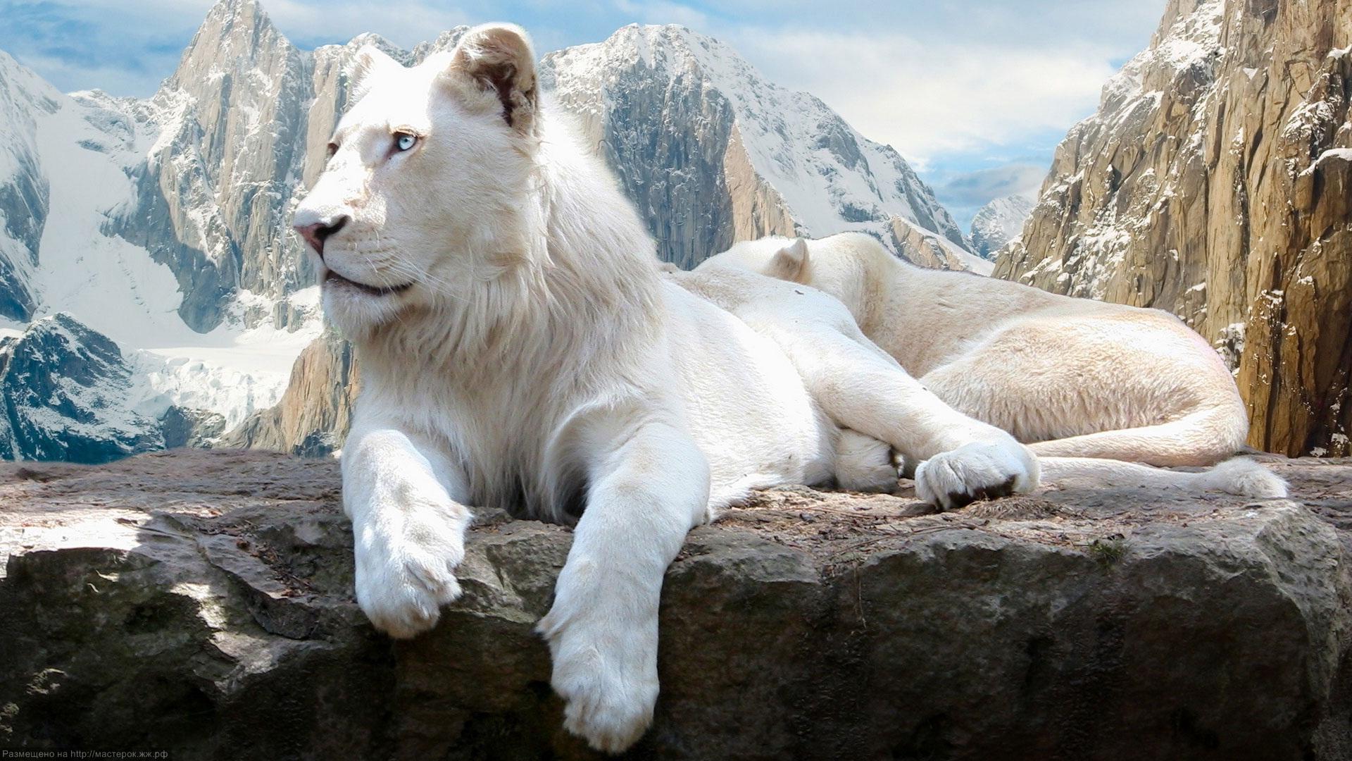 """Оригинал - Схема вышивки  """"белый лев """" - Схемы вышивки - vifka - Авторы - Портал  """"Вышивка крестом """" ."""