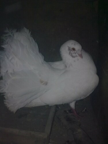 Павлиньи голуби 0_8bb77_5b867be8_L