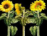 «AD_Sunflower_summer»  0_8c79e_149f7450_S