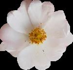 «Four Roses»  0_8cdf2_de5faf36_S