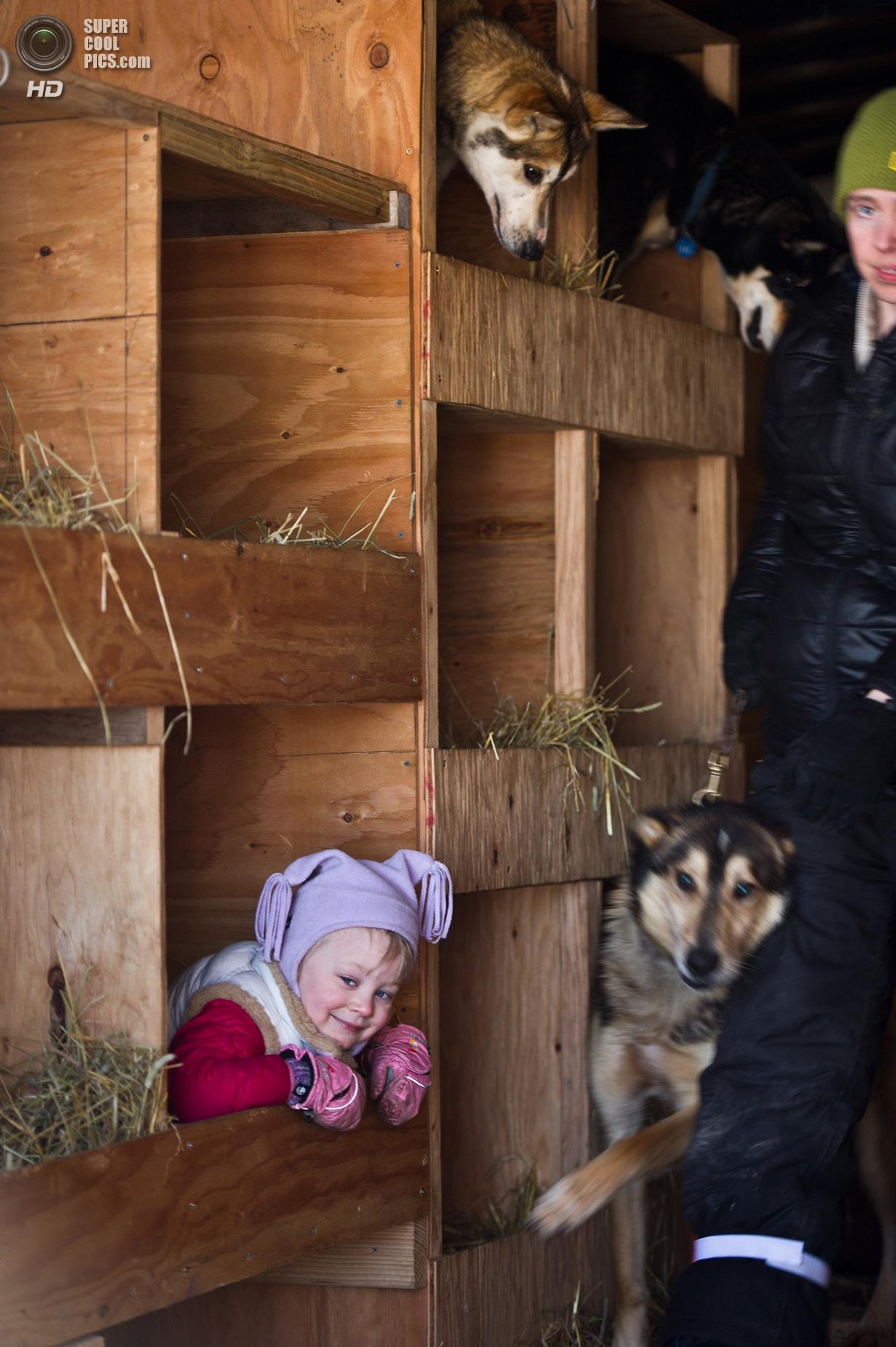 США. Уиллоу, Аляска. 2 марта. Энни Сивей играет с собаками в грузовике. (Erik Hill/Anchorage Daily N