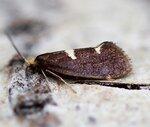Incurvariidae(Минно-чехликовые моли)