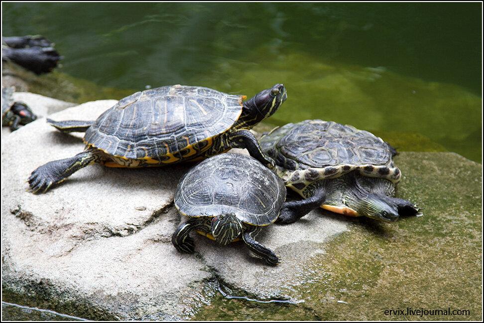 Черепаха в пруду Центрального парка Гонконга