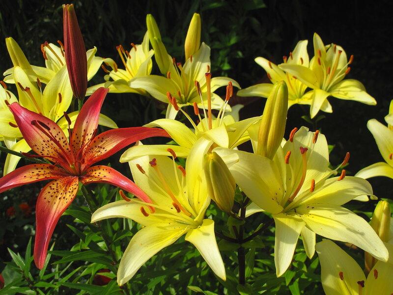 Летние цветы райского садика в с.Остров, лилии