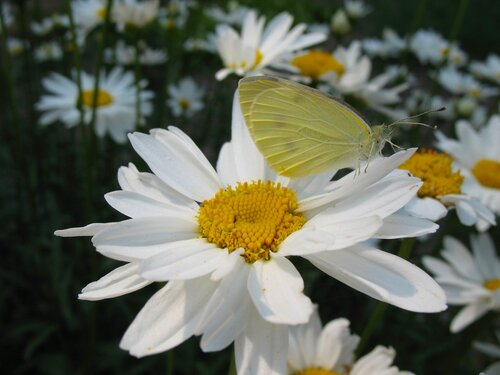 Ромашки и бабочка